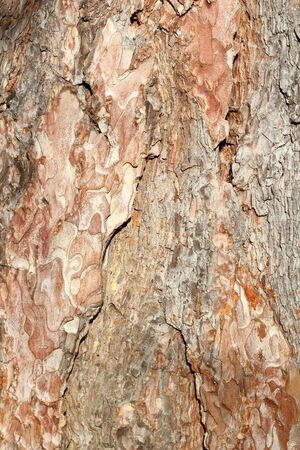detail of a textured old pine bark on the trunk photo
