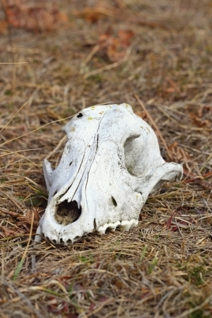 cranium: grunge dog cranium left in the field