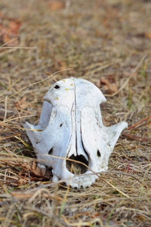 front view of dog cranium  in the faded grass photo