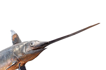 gladius: swordfish (  Xiphias gladius ) photographed in a museum isolated over white background