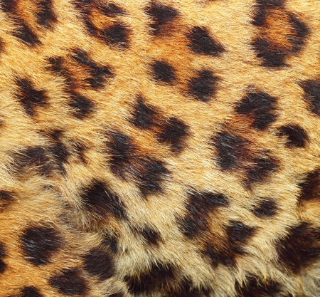 colorful texture of leopard fur ( panthera pardus )  photo
