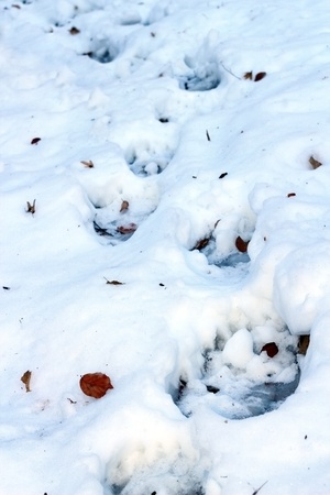 footmark: brown bear   ursus arctos   track in snow