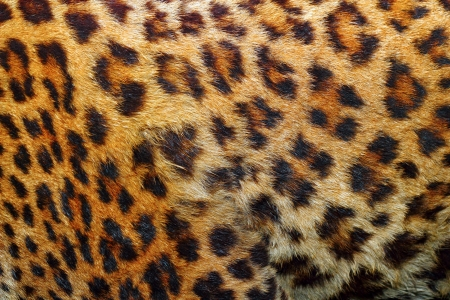 textured detail of leopard fur   panthera pardus   photo