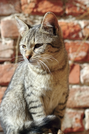 felix: portrait of a young striped cat standing against a brick wall background