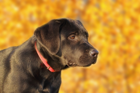 portrait of a young black labrador retriever over the autumn forest background Stock Photo