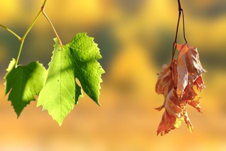 Concepto de la vida y la muerte - dos hojas de la viña sobre el fondo de otoño Foto de archivo - 19867105