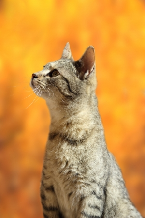 closeup of curious striped cat over beautiful colors of autumn forest background photo