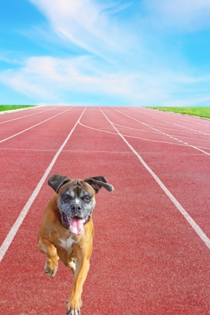 happy playful boxer breed running towards the camera on sport track