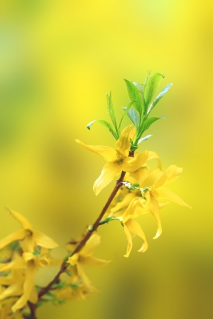 forsythia: beautiful yellow blossoms of forsythia on small twig over defocused background