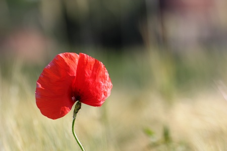 wild red poppy flower growing near a corn field blurred in the background Stock Photo - 20445659