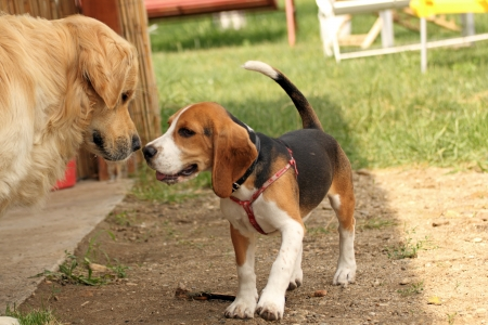 young beagle purebred playing with golden retriever in the backyard