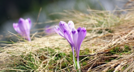 lila: detail of some early spring wild flowers   crocus sativus