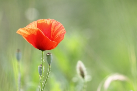 closeup of a beautiful red poppy in bloom growing in the green field photo