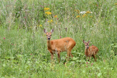 roe deer doe ( capreolus ) and her baby looking at the camera while standing in  the big grass