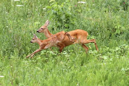 roe deer doe - capreolus - and her calf jumping in a green meadow