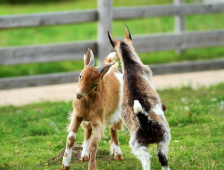 two young goats playing the fight on the green spring grass photo