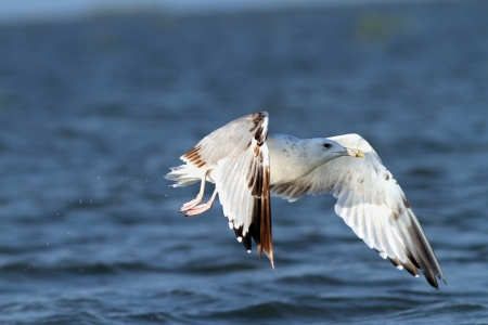 closeup of white gull in flight over the waters of Danube river photo