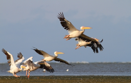 group of pelicans taking flight at Sahalin island, Danube Delta photo