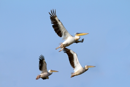 flock of pelicans flying over blue sky background taken on the Danube Delta, Sahalin island photo