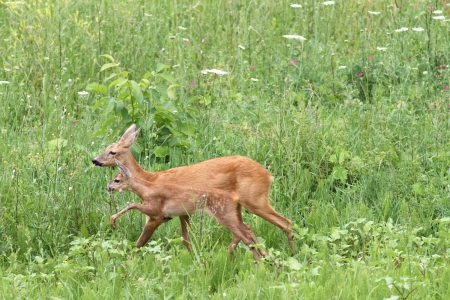 roe deer doe and calf   capreolus   walking together among the big grass photo