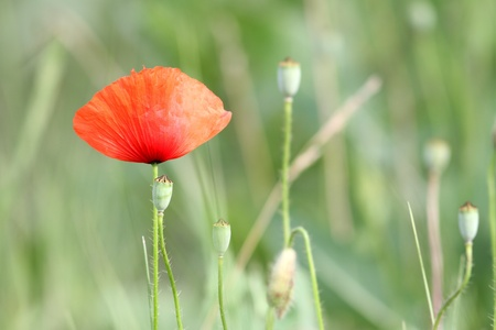 red poppy in the field, beautiful wild summer flower photo