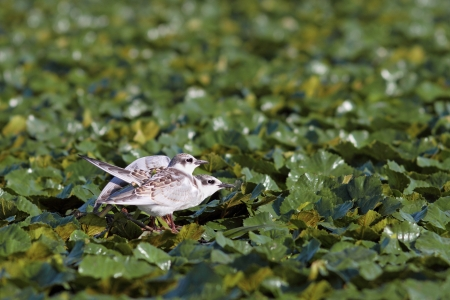 two juveniles little tern   sterna albifrons   standing in the swamp near Sahalin island , Danube Delta , Romania photo