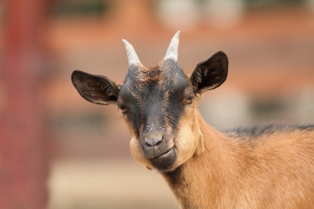funny young brown goat ruminating the grass photo