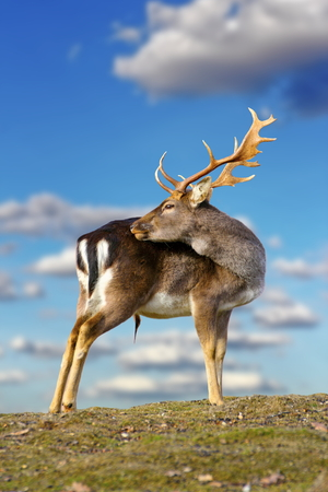 beautiful fallow deer buck   dama dama   standing on top of the hill over blue sky background photo