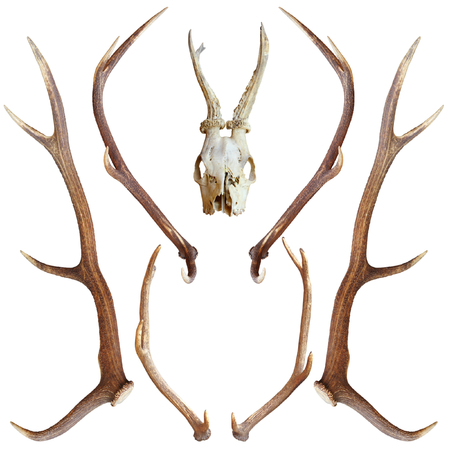 deer hunting: collection of beautiful hunting trophies of roe and red deer isolated over white