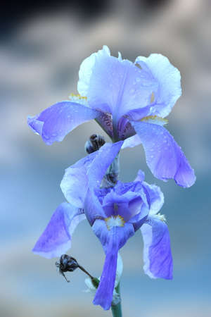 beautiful closeup of blue iris inflorescence over sky background photo