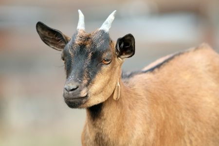 portrait of a brown young goat ram  with small horns photo