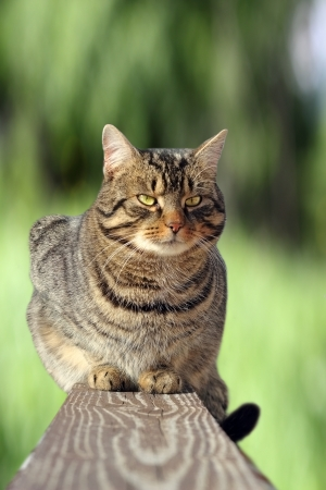 beautiful striped cat relaxing on the fence over green background photo