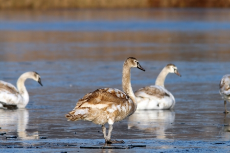 juvenile mute swan ( cygnus olor ) standing on ice with its family photo