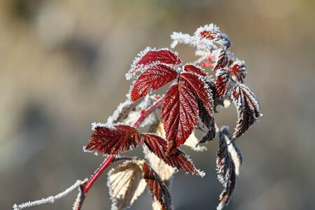 specificity: wild raspberry leaves covered with rime in a winter morning Stock Photo