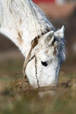 graze: detail of white horse head grazing on a  meadow
