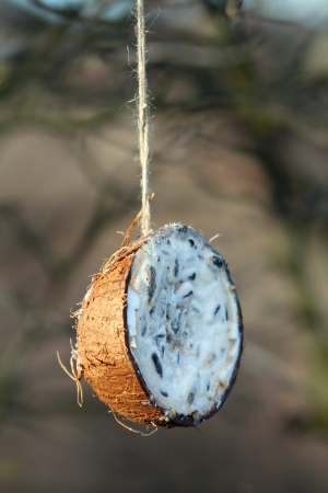 coconut feeder full of lard hung in the tree for wild birds  in winter