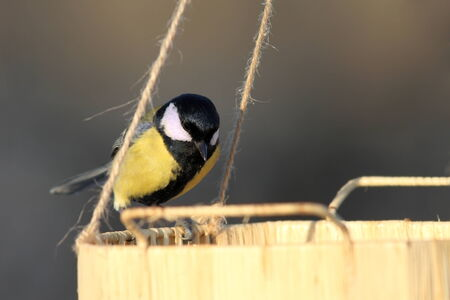 great tit   parus major   looking for food on a seed feeder in the garden photo