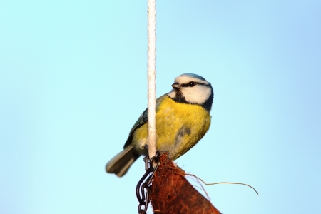 small blue tit   parus caeruleus   standing on a coconut feeder over the sky photo