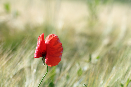 uncultivated: colorful uncultivated poppy   papaver   growing in the summer field Stock Photo