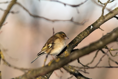 female common chaffinch on branch   fringilla coelebs   photo