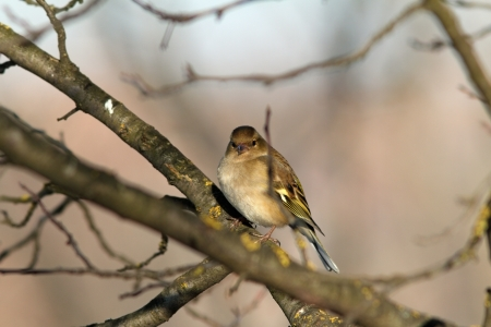 female fringilla coelebs   european common chaffinch   in winter plumage perched on tree photo