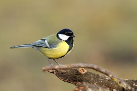 great tit   parus major   standing on perch over blurred background photo