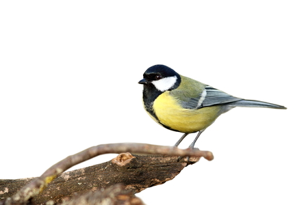 isolated great tit   parus major   with place for text photo