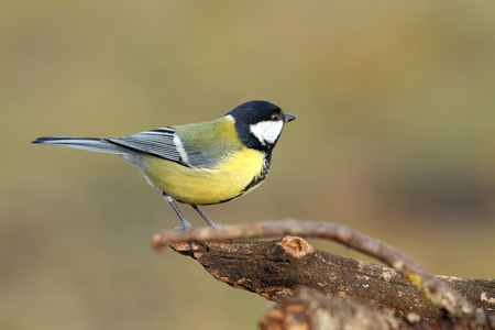 beautiful tiny bird   parus major, great tit   in the garden  photo