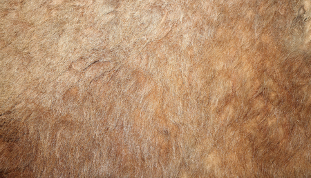 real lion textured pelt on a hunted animal