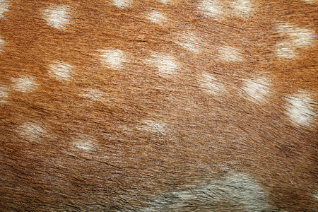 fallow deer spots on fur, texture of captive real animal pelt photo