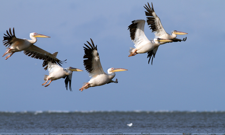 great pelicans   pelecanus onocrotalus   flying in danube delta photo