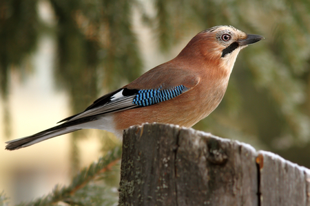 eurasian jay   garrulus glandarius   profile standing on a stump in the forest photo