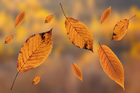 autumn is coming, concept with faded cherry leaves falling from tree over out of focus color background photo