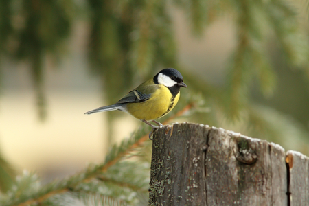 great tit    parus major    perched on  stump feeder in a winter day photo